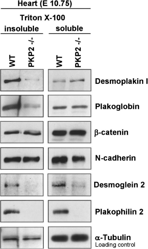 Triton X-100 solubility of junctional proteins in the hearts of wt and plakophilin 2 mutant (pkp2−/−) embryos at E10.75. Triton X-100 insoluble and soluble proteins were subjected to SDS-PAGE and the relative amounts of specific proteins were demonstrated by Western blotting using antibodies to junctional proteins as listed. Note that a large proportion of desmoplakin and desmoglein 2 and, to a lesser degree, plakoglobin, were not associated with the Triton X-100 insoluble (i.e., cytoskeleton-associated) fraction in the plakophilin 2–deficient hearts. Plakophilin 2 was absent in mutant hearts, and β-catenin as well as N-cadherin did not show marked differences between wt and pkp2−/− animals.