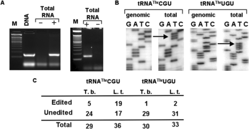 The T. brucei tRNAThrCGU and tRNAThrUGU undergo C to U editing in the anticodon loop. (A) RT-PCR with tRNAThrCGU and tRNAThrUGU-specific primers. The reactions were separated in a 3% agarose gel and stained with ethidium bromide. M, refers to a size marker lane. 'DNA' denotes a positive control lane in which a PCR reaction was performed with genomic DNA from T. brucei. '+' and '−' refer to RT-PCR reactions with the same primer but performed in the presence and/or absence of reverse transcriptase, where the '−' reaction is a mock control to check for DNA contamination in our RNA preparation. (B) A representative sequence of either a genomic DNA PCR product or one derived from the RT-PCR reaction. The arrow indicates the presence of the C to U editing event at position 32 of the anticodon loop, which is only present in the cDNA but not in the genomic DNA sequences. (C) A number of independent clones were sequenced from the RT-PCR products above, where 5 out 29 and 1 out of 29 clones were found edited for tRNAThrCGU in T. brucei (T.b.). Similar reactions as above yielded 19 out of 36 and 2 out of 33 clones edited in L. tarentolae (L.t.). No editing was detected in 30 clones derived from the genomic DNA PCR reaction.