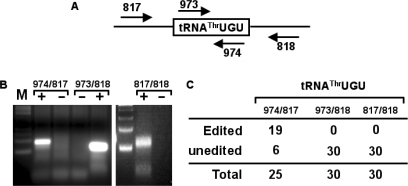 C to U editing precedes 5′ leader removal but occurs after 3′ maturation. (A) The nuclear RNA from above was the subject of RT-PCR analysis with the primers indicated, where primers 817 and 818 are specific for the 5′ leader and 3′ trailer, respectively. (B) The resulting RT-PCR reactions with all possible primer combinations were separated in a 3% agarose gel and stained with ethidium bromide. '+' and '−' refer to RT-PCR reactions with the same primer but performed in the presence and/or absence of reverse transcriptase, where the '−' reaction is a mock control to check for DNA contamination in our RNA preparation. (C) The PCR products from (B) were cloned and sequenced. Out of 25 clones, 19 were derived from the leader containing RT-PCR reaction contained the C to U edit. No edited clones were observed in either the trailer-specific reaction (oligos 973/818) or the reaction specific for both precursors (oligos 817/818).