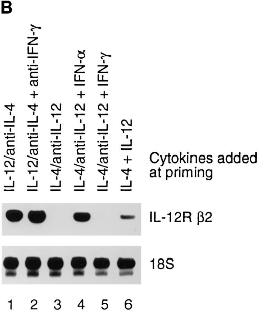 Function of type I and II IFNs in the development of T  helper cell subsets and on the expression of the IL-12R β2 subunit. (A)  IFN-α induces Th1 development. T cell lines were generated by stimulating cord blood lymphocytes with PHA in the presence of the indicated  cytokines or anti-cytokine antibodies. IFN-α or IFN-γ (1,000 U/ml)  were added at the time of priming to the cultures as indicated. Cytokine  production was determined on day 10. IFN-α, but not IFN-γ, induces a  Th1 phenotype even in the presence of IL-4 and neutralizing anti–IL-12  antibodies. (B) IFN-α induced Th1 cells express IL-12R β2 transcripts.  RNA was extracted from T cell lines 10 d after priming in the presence of  the indicated cytokines or neutralizing anti-cytokine antibodies. RNase  protection assays were performed as described above. (C) IFN-α induced  Th1 cells are IL-12 responsive. T cell lines (Fig. 6 A) were harvested on  day 10 after priming. 8 × 106 cells were washed and incubated 15 min at  37°C in medium with or without 2 ng/ml IL-12 in 1 ml RPMI-FCS.  IL-12 induced Stat4 phosphorylation was determined as described above.