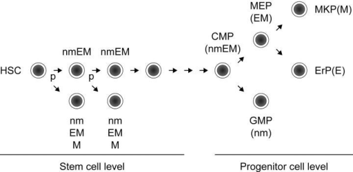 Myeloid lineage restriction model. The mode of lineage commitment at the level of HSCs may differ from that at the level of progenitor cells. Our model for HSCs is presented in combination with the model proposed by Weissman's group (34). An HSC can directly give rise to lineage-committed progenitor cells such as nm, EM, or M progenitor cells through initial HSC division in asymmetric manner. It may give rise to a common myeloid progenitor (CMP) after a certain number of divisions. The CMP gives rise to a megakaryocyte/erythrocyte lineage–restricted progenitor (MEP) and to a granulocyte/macrophage lineage-restricted progenitor (GMP). The MEP progressively gives rise to a megakaryocyte-committed progenitor (MKP) and to an erythrocyte lineage-committed progenitor (ErP). P, probability of asymmetric division.
