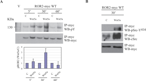 ROR2 receptor exhibits increased tyrosine phosphorylation and Src association upon Wnt5a stimulation.A) Chondrocytes were either transfected with pcDNA3.1 (V, control) or pcDNA3.1 containing the myc-tagged, wild type, ROR2 construct (ROR2-myc WT). Following 1 hr of serum starvation in KHB, cells were either stimulated with 0.1% BSA carrier (C) or Wnt5a (1.6 µg/ml) for 5, 30 or 60 min. Control vector-transfected cells (V) were not stimulated. The receptor was immunoprecipitated using anti-myc antibody (IP-myc) and analysed by SDS-PAGE and subsequent Western blotting. The membrane was probed with an anti-phosphotyrosine cocktail (WB-pY), followed by stripping and re-probing with anti-myc antibody (WB-myc). The fold-increase of ROR2 receptor phosphorylation was determined by normalizing Wnt5a-induced phosphorylation to carrier-induced phosphorylation (mean±s.e.m., n = 3, lower panel). B) Chondrocytes expressing ROR2-myc WT were stimulated with either 0.1% BSA (C) or Wnt5a (1.6 µg/ml) for 30 min. The receptor was immunoprecipitated using anti-myc antibody (IP-myc) and probed with a phospho-Src antibody (WB-pSrc-Y416) to detect activated Src. The membrane was stripped and reprobed with anti-c-Src (WB-cSrc) and anti-myc (WB-myc).