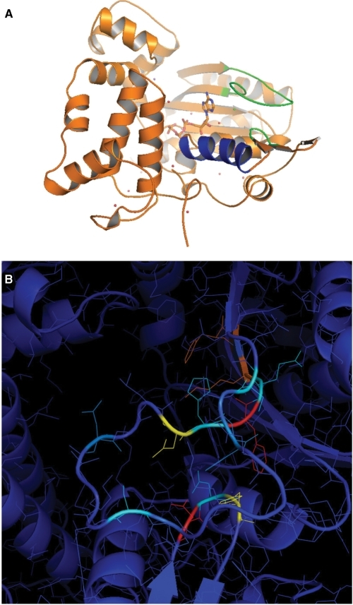 Impact of mutations in a 3D framework. (A) Structural context of Loop1 and SD2 (green) as well as helix α14 (blue), just after the ALLGWTGS region, with respect to dNTP-binding site. SD1 is at the C-terminus of Loop1 and the beginning of the next β strand. (B) 3D representation of the effect of mutations. Each mutation described in Table 1 is colored according to its effect (blue = minimum; red = maximum).