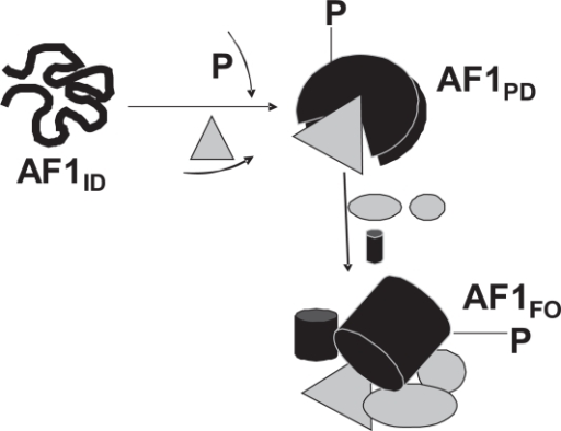 A hypothetical model of the role of site-specific phosphorylation on the structure and functions of the AF1 domain. The GR AF1 domain exists in an intrinsically disordered (ID) conformation ie, as an ensemble of conformers that collectively appear to lack any significant secondary/tertiary structure. Phosphorylation of one or more sites within the AF1 alters its conformation in such a way that AF1 adopts a partially folded (PD) conformation that facilitates AF1's interaction with one or more of the coregulatory proteins. This protein:protein interaction allows structurally modified forms of AF1 to suit for its varied interactions with other critical coregulatory proteins, and possibly additional modulations in receptor structure essential for gene regulation by the GR. This AF1:coregulators assembly provides optimal ordered conformation in the AF1 for subsequent transactivation activity. Alternatively, one or more of the coregulator proteins directly interact with one or more unphosphorylated AF1 conformers that may trigger phosphorylation of AF1. The resultant assembly of proteins may depend upon the cellular environment, specific promoters used, and the kinase pathway involved. All the available phosphorylation sites in the GR could be involved simultaneously or there may be a coordinated synergy between each site. In the full length GR, AF1:coregulators assembly may also be influenced by other factors such as DNA binding to its DBD, ligand binding and the cross talk between AF1 and AF2. In addition to the level of AF1 phosphorylation, phosphorylation of different coregulators may also influence the outcome, and certain coregulators may be included or excluded from the assembly depending upon the interacting surfaces of the AF1 and/or coregulator proteins.