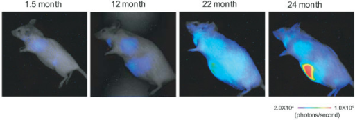 Real-time bioluminescence imaging of p16INK4a gene expression during aging process in vivo. The same p16-luc mice were subjected to noninvasive BLI throughout their entire life span. The level of bioluminescent signals is significantly increased throughout the body during aging.