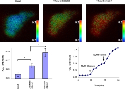 PDE3A inhibition generates compartmentalized cAMP at the plasma membrane of Calu-3 cells. Representative pseudocolor images of CFP/FRET emission ratio before (time = 0 min) and after adding 10 μM cilostazol or 10 μM forskolin (time = 10 min). Look up bar shows magnitude of emission ratio. Line graph is a representative graph for CFP/FRET emission ratio change with time upon adding agonist. Bar graph is mean ratio change ± SEM (n = 6 separate experiments, *p < 0.05).