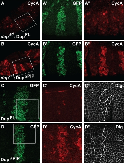 DupΔPIP arrests the cell cycle in interphase. (A and B) DupFL-GFP (A) or DupΔPIP-GFP (B)-expressing dupa1  cells stained with anti-CycA (red) and anti-GFP (green). (C and D) DupFL-GFP– (C) or DupΔPIP-GFP– (D) expressing WT cells stained with anti-GFP (green, C and D), anti-CycA (red, C′ and D′), and anti-Dlg (white, C″ and D″). Note the larger cell size in the left side of D″ relative to the right side, indicating cell cycle arrest caused by DupΔPIP expression.