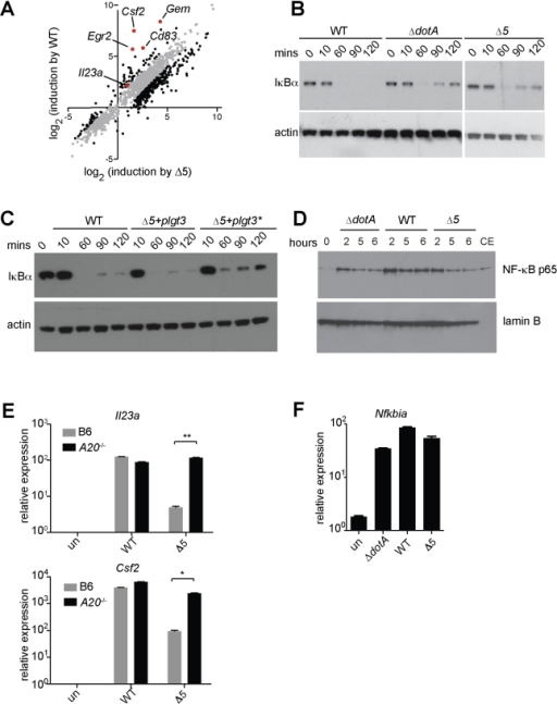 Expression of the 5 L. pneumophila effectors and induction of 'effector-triggered' genes correlates with sustained loss of inhibitors of the NF-κB transcription factor.(A) Caspase-1−/− macrophages were infected for 6 h with the indicated strains. RNA was amplified and hybridized to MEEBO arrays. Black and red dots, genes exhibiting greater than 2-fold difference in induction between wildtype (WT) and Δ5. Red dots indicate labeled genes. (B, C) Caspase-1−/− macrophages were infected at an MOI of 2 for the times indicated. Cell lysates were analyzed by Western blotting with anti-IκBα antibody (top panels) or anti-β-actin antibody (bottom panels). (C) The indicated strains carried a plasmid encoding either a functional (plgt3) or catalytically inactive (plgt3*) effector. (D) B6 macrophages were infected at an MOI of 2 for the times indicated. Nuclear extracts were analyzed by Western blotting with anti-NF-κB antibody (top panel) or anti-lamin-B antibody (bottom panel) as a loading control. Cytoplasmic extract of untreated macrophages (CE) was included for comparison. (E, F) B6 (E, F) or A20−/− (E) macrophages were infected for 6 h, and levels of the indicated transcripts were measured by quantitative RT-PCR. Data shown are representative of two experiments (E-F, mean ± sd).