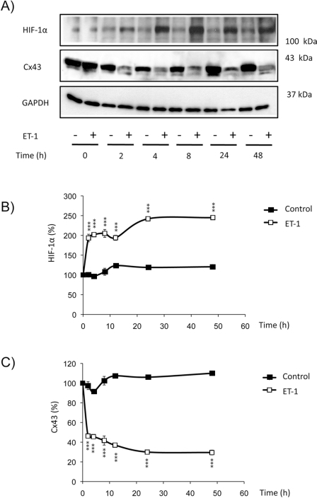 Effect of ET-1 on the expression of HIF-1α in astrocytes.Astrocytes were incubated in the absence (control) or presence of 0.1 µM ET-1 for the indicated times. Then, the expression of HIF-1α and Cx43 was analysed by Western blot. A) Representative Western blot of HIF-1α, Cx43 and GAPDH showing that ET-1 up-regulated HIF-1α and down-regulated Cx43. B) HIF-1α quantification. C) Cx43 quantification. The results are expressed as percentages of the level found in the controls at time 0. ***p<0.001 versus the corresponding controls.
