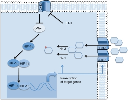 Proposed mechanism.Since Cx43 inhibits c-Src activity [43], it could be proposed that ET-1 by reducing Cx43 activates c-Src, which in turn increases HIF-1α. HIF-1α dimerizes with HIF-1ß and translocates to the nucleus. The transcriptional activity of HIF induces the synthesis of the machinery required to augment the rate of glucose uptake in astrocytes, i.e., the glucose transporters, GLUT-1 and GLUT-3 and the enzymes required for glucose phosphorylation, type I and type II hexokinase (Hx-1 and Hx-2).