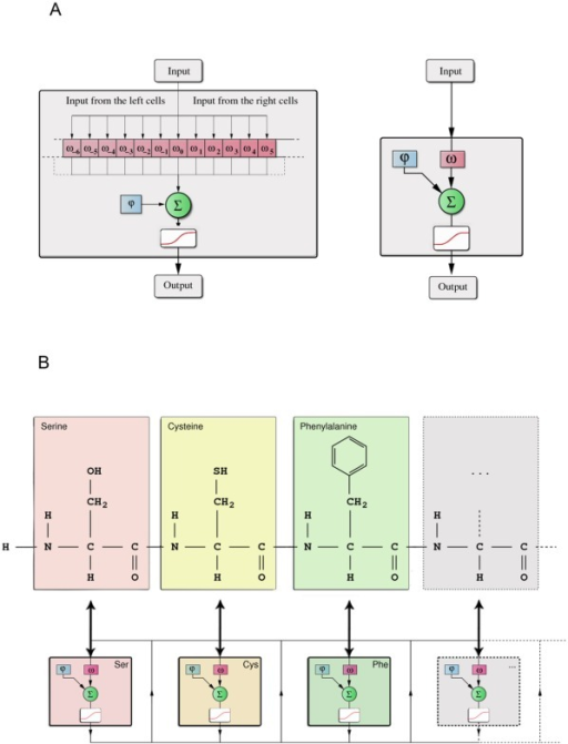 (A) Graph Neural Networks consist of interconnected elementary cells. The internal weight of the cell is given by φinternal and the feedback during the iteration of the GNN is controlled by ω0. The inputs from the neighboring cells are connected with the weights ω-N,…,N preserving the order of the peptide sequence as shown in (B). The sum of the weighted inputs passes the activation function and forms the output of the cell for the next iteration step of the network. (B) The translation process of a peptide into a fully connected GNN. Note the one-to-one correspondence between the amino acids of the peptide and the elementary cells of the GNN. The network is iterated through time and the output of the network is the sum over all internal states after the final iteration.