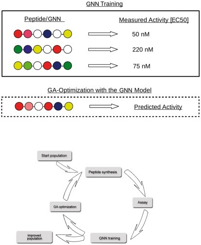 GNNs are trained and then optimized.This example illustrates the GNN's mode of action in computer-assisted peptide design: In the training set, the model is taught the properties of the current peptides (biological activity, stability) and the adopted cells build virtual peptides that are evaluated in the genetic algorithm-based optimization. The peptide optimization process is organized in multiple consecutive cycles. The start population of peptides is based on experts' knowledge concerning the target, e.g. natural ligands, known analogs or compounds that bind to similar targets. The trained GNN is used as a fitness function in a genetic algorithm. Newly generated sequences then have to be synthesized and analyzed in biological assays, before the next GNN training is initiated.