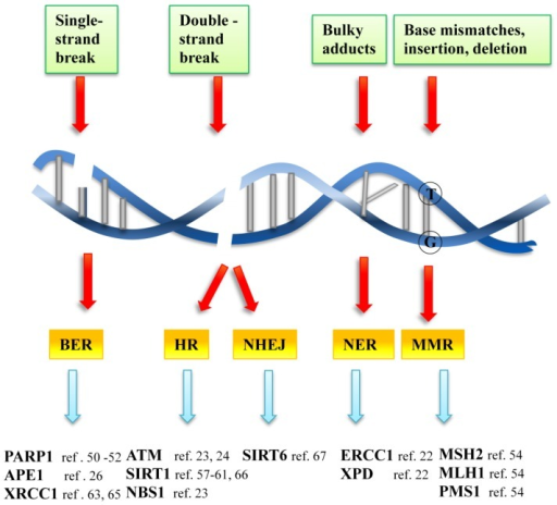 DNA damage and DDR pathways  The genome is exposed to s   Open-i