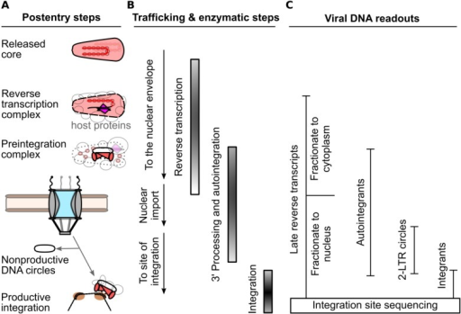 PCR-based methods for detection of post-entry to viral DNA integration steps of HIV-1 infection. (A) Generalized replication intermediates and byproducts leading up to integration. (B) Order of viral trafficking and RT and IN enzymatic steps. (C) Summary of viral DNA species that serve as markers for the various infection intermediates and byproducts.