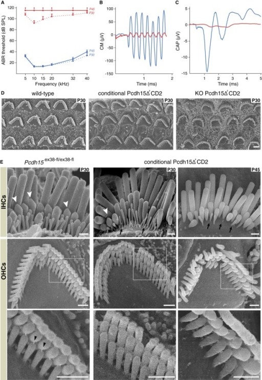Auditory testing and morphological analysis of hair bundles in conditional Pcdh15Δ'CD2 miceA ABR thresholds across the 5-40 kHz frequency spectrum on P30 and P45. Blue and red curves (mean ± SEM) correspond to Pcdh15ex38-fl/ex38-fl (control) and conditional Pcdh15-Δ'CD2 mice, respectively. In P45 conditional Pcdh15Δ'CD2 mice, ABR waves could not be detected even at 115 dB SPL (P30: conditional Pcdh15Δ'CD2 mice n = 7, control n = 15, P45: conditional Pcdh15Δ'CD2 mice n = 6, control n = 15).B, C CM and CAP responses to a 10 kHz, 105 dB SPL tone burst in a Pcdh15ex38-fl/ex38-fl P30 control mouse (blue) and a P30 conditional Pcdh15Δ'CD2 mouse (red).D Scanning electron micrographs showing that the orientation of OHC hair bundles is normal in P30 conditional Pcdh15Δ'CD2 mice in which Pcdh15-CD2 is lost after hair-bundle development, in contrast to KO Pcdh15Δ'CD2 mice that lack Pcdh15-CD2 throughout development. Scale bars: 2 μm.E Scanning electron micrographs showing IHC and OHC hair bundles of Pcdh15ex38-fl/ex38-fl (control) and conditional Pcdh15Δ'CD2 mice on P30 and P45. White arrowheads indicate stereocilia with prolate-shaped tips, and arrows show regression of small row stereocilia. Tip-links (black arrowheads) are visible in controls on P30 and P45 but not in conditional Pcdh15ΔCD2 mice at either age. Scale bars: 500 nm.