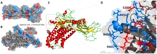 Predicted models of filamin-2 (FLN2) and α2C-adrenoceptor (ADRA2C) proteins, and their complex.Panels A and B present cartoon diagram of FLN2 (region between residues 1982 and 2183) and ADRA2C protein models. Positively and negatively charged regions are indicated by blue and red colors, respectively. Panel C presents whole protein-protein complex predicted by HADDOCK program. Panel D shows the interaction between receptor's C-terminal helix and the filamin-2 region that is responsible for binding the receptor.
