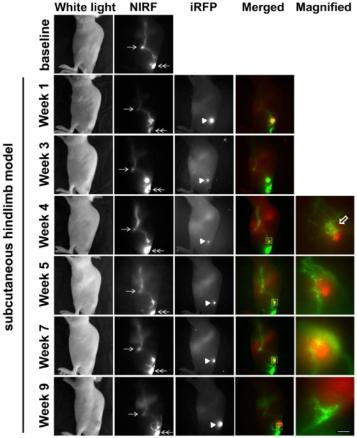 White light, NIR, and iRFP fluorescent images prior to and for up to 9 weeks after s.c. inoculation of SUM149-iRFP cells. Images were acquired 10 mins after i.d. injection of ICG. NIR fluorescent images (green) of the lymphatics were fused with iRFP fluorescent images (red) of the gene reporters in the tumor. Magnified fluorescent images of the white rectangles were also acquired. Arrow, ILN. Double arrow, injection site. Arrow head, SUM149-iRFP tumor. Open arrow, lymphatic capillaries due to dermal backflow. Scale, 1 mm.