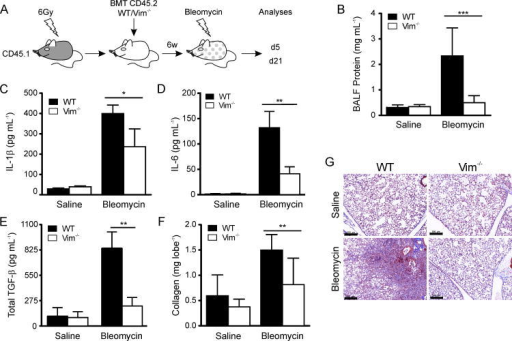 Lung injury and fibrosis are attenuated in Vim-/- bone marrow chimeric mice(A) Treatment protocol: CD45.1+ WT mice were lethally irradiated (6 Gy) and two sets of mice were transplanted either with 1×106 CD45.2+ WT or Vim-/- BM cells to generate chimeric mice. 6.5w later, when >90% of AM were of donor (WT and Vim-/-) phenotype, chimeric mice were treated with saline or bleomycin and subjected to analyses. Bleomycin-induced lung injury was assessed by protein levels (B), and ELISA for IL-1β (C), IL-6 (D) and TGF-β (E) in BALF, 5 d after instillation. Bleomycin-induced fibrosis was assessed 21 d after instillation by measuring collagen content in lungs by Sircol assay (F), and by histological examination of lung tissue with H&E staining (G). Original magnification ×40; scale bars, 200 μm. Data in B are means ± SE, C-F are means ± SD from two independent experiments, each with at least three animals per experiment. *P < 0.05, **P < 0.001, ***P<0.0001, by one way ANOVA with a correction provided by the Bonferroni multiple comparisons test.