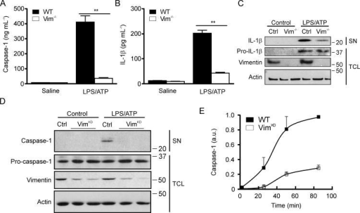 Activation of the inflammasome in murine cells is dependent on vimentinPrimary WT and Vim-/- alveolar macrophages were primed with LPS (100 ng/mL) and treated with ATP (1 mM) or saline for 1 h. Caspase-1 (A) and IL-1β (B) levels in supernatants were assessed by ELISA and by Western blot (C). J744.1 cells expressing either control shRNA (Ctrl) or shRNA against vimentin (KD, two distinct clones) were primed with LPS (100 ng/mL) and treated with ATP (1 mM) or saline for 25 min. Vimentin, actin, and caspase-1 protein levels were assessed by Western blot analysis (D). Mature caspase-1 levels were assessed in WT and KD cells activated with ATP for 25, 50, or 85 min (E). Data shown are means ± SD. of three replicates. **P < 0.001, by Student's t- test. SN, supernatant; TCL, total cell lysate.