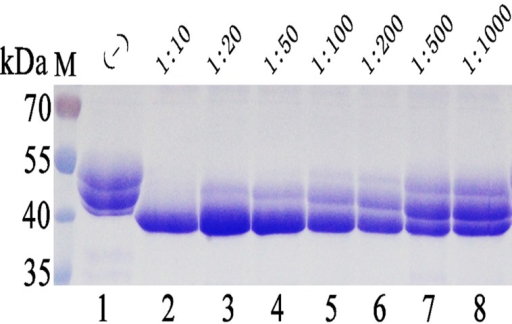 Co-fermentaion the phytase expressing P. pastoris and Endo H-P expressing P. pastoris with various initial ratio of cells innoculated in BMMY medium.M protein molecular weight markers (the size of each band was indicated on the left); Lane 1 phytase expressed in P. pastoris; Lane 2–8 EndoH-P-expressing P. pastoris co-fermentated with phytase-expressing P. pastoris with inoculation ratio of 1:10, 1:25, 1:50, 1:100, 1:200, 1:500 and 1:1000 (Endo H-P: phytase), respectively.