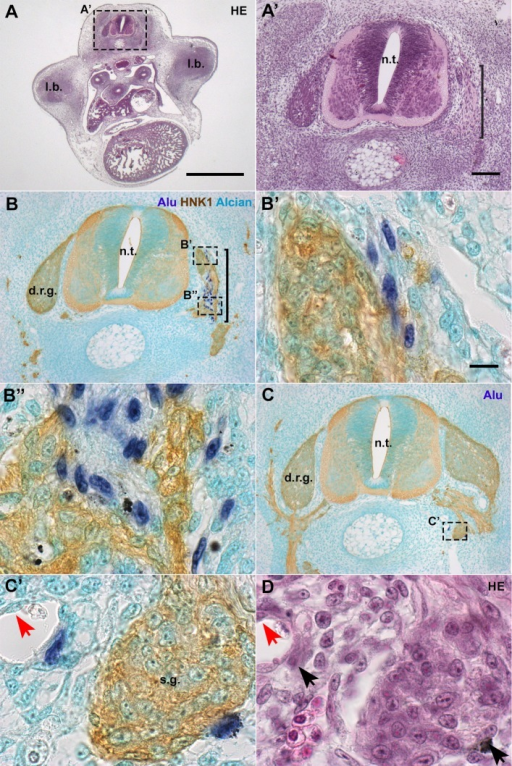 In E6 chick embryos, hADSC associated with peripheral nerves and ganglia. (A,A′) Cross-sections at anterior limb-bud (l.b.) level revealed that the morphology of the embryo is normal. Haematoxylin-eosin (HE) staining. (B,B′,B″) In serial sections, hybridization with Alu probes performed simultaneously with HNK1 immunostaining revealed that hADSC were closely associated with developing nerve fibers, lateral to the neural tube (n.t.), in the region of the dorsal-root ganglion (d.r.g.). Alcian blue counterstaining. (C,C′) hADSC were associated with the sympathetic ganglia (s.g.). (D) Cells were also associated with blood vessels, always in a perivascular location, as seen with HE staining. Red arrows: endothelium. A, scale bar: 1 mm; A′,B,C, scale bar: 100 µm; B′,B″,C′, scale bar: 10 µm.