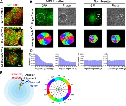 Radial patterns of cell dynamics in neural rosettes.A. Combined HES5::eGFP (green) reporter expression and immunostaining of the cortical neural progenitor marker PAX6 (red) throughout NSC progression from unstructured neuroepithelial cells (top), to early radial glial (E-RG) rosettes (middle) to mid radial glial (M-RG) rosettes (bottom). Nuclei are stained with DAPI (blue). Rosette contours are marked in white. Scale bars: 25 μm. HES5::eGFP co-localizes with PAX6+ nuclei, attesting a NSC stage. E-RG rosettes contain multiple radially organized GFP+/PAX6+ nuclei, whereas M-RG rosettes harbor GFP+/PAX6+ cells only close to rosette lumens, reflective of enhanced or reduced NSC numbers, respectively. Many cells in M-RG rosettes are not associated to apical sites (e.g., rosette lumens), reflecting the beginning of rosette disassembly. B. Representative HES5::eGFP and its matched phase contrast image from time-lapse imaging of an E-RG stage neural rosette (left panels) or a non-rosette area adjacent to a rosette (right panels). Rosette contours and center were manually annotated (white dashed marking). Scale bars: 25 μm. An image was acquired every 5 minutes for a total of 250 minutes. Rosette annotation for M-RG rosettes is shown in S1A Fig. C. Motion patterns follow the expected radial angle. Average patch velocity orientation over time for an E-RG rosette (left, corresponding to panel B) and a non-rosette. Color code is illustrated in panel E (bottom). Radial organization is subjectively observed in E-RG rosettes, for both GFP and phase contrast, but not in non-rosettes. D. Distributions of angular alignment of all patches over the entire time course. INM patterns (tendency to follow the expected angle) are found for E-RG rosettes (left, mean angle of 29° for GFP, 36.4° for phase contrast) but not for non-rosettes (right, mean angle of 44.7° for GFP, 45.7° for phase contrast). E. Schematic sketch of angular alignment γ, the angle between the expected- and observed-motion (top). Color code for angles is illustrated in panel C (bottom).