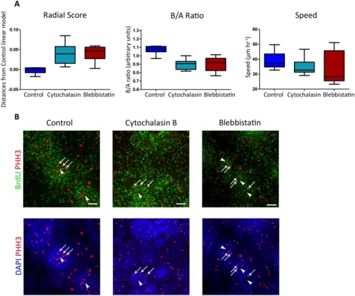 Inhibition of ACTIN or NMII reduces INM.Treatment with Blebbistatin or Cytochalasin-B reduces INM measures. E-RG rosettes were treated with or without indicated inhibitors immediately prior to live imaging and throughout the experiment. A. INM measures: Left: RS—signed distances of RS of treated rosettes from control E-G linear model (Blebbistatin: Wilcoxon rank sum test, p = 8.6841e-04; Cytochalasin-B: p = 1.5890e-04). Middle: B/A ratio (Blebbistatin: p = 3.1994e-04; Cytochalasin-B: p = 6.0475e-05). Right: Speed (Blebbistatin: p = 0.2370; Cytochalasin-B: p = 0.0434). Note that all measures were significantly reduced for drug-treated cells excluding speed for Blebbistatin-treatment. 10 control E-RG rosettes, 8 treated with Blebbistatin and 14 with Cytochalasin-B were analyzed in panels A-C. B. Treatment with Blebbistatin or Cytochalasin-B disrupts the ordered spatial distribution of cell cycle markers within rosettes. E-RG rosettes were labeled with BrdU immediately following the experiment and then fixed and immunostained for BrdU and PHH3 marking DNA replication (green) and mitosis (red) phases, respectively. DAPI marks nuclei. Sites of mitosis (PHH3+, arrows) are less confined to rosette centers (arrowheads) under inhibitor treatments.