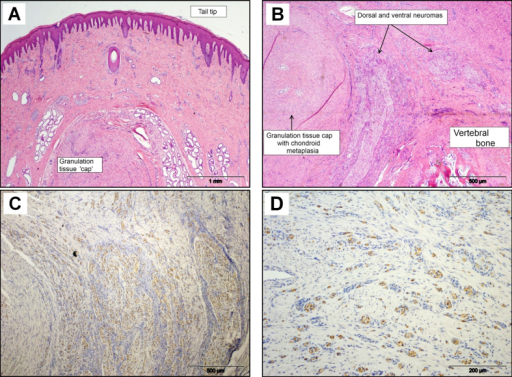 Histopathological features in sections of pig tail stump 16 weeks after docking. (A) Fully healed tail tip with granulation tissue cap over the cut end of the coccygeal bone. HE. (B) Mature granulation tissue 'cap' regression with reduced dermal fibroplasia and angiogenesis. HE. (C) Dorsal and ventral neuromas with axonal sprouts in granulation tissue (S100 expression). IHC. (D) Neuroma axonal sprouts dispersed in mature granulation tissue (S100 expression). IHC.