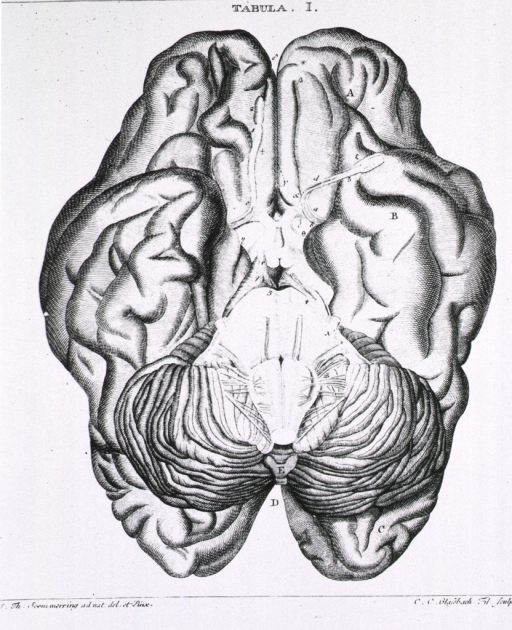 <p>Base of the brain from the frontal and temporal lobes to the occipital lobe.</p>