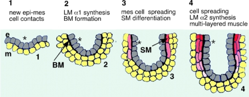 Proposed role of LM-1 and LM-2 in bronchial myogenesis. e, Epithelial cells (gray); m, mesenchymal cells (yellow); SM, smooth muscle cells (from pink to red); BM, basement membrane. The asterisk tags the relative position adopted by an epithelial cell from the moment it is born and establishes a new contact with the mesenchyme.