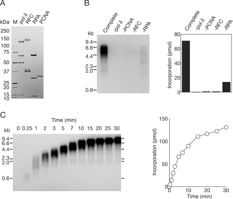 Reconstitution of DNA replication with recombinant replication factors on singly primed ss mp18 DNA. (A) SDS–PAGE analysis of purified recombinant proteins. Pol δ (2.4 μg), RFC (1.5 μg), RPA (1.2 μg) and PCNA (0.8 μg) were loaded on a SDS 4–20% gradient polyacrylamide gel and stained with CBB. (B) Requirement of replication factors for synthesis of singly primed ss mp18 DNA. Reactions were carried out for 10 min under the conditions described in the Materials and Methods section or omitting one replication factor. Products were analyzed by 0.7% alkaline-agarose gel electrophoresis as described in the Materials and Methods section. Incorporation of dNMP was measured as described in the Materials and Methods section. (C) Time course of the reaction of DNA synthesis. The reaction products were analyzed by the same procedures as for (B).