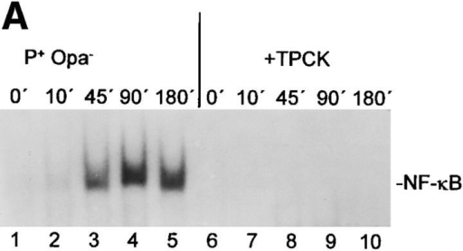 Inhibition of NF-κB activation by TPCK blocks  the induction of cytokine genes  in Ngo-infected epithelial cells.  (A) Nuclear extracts from HeLa  cells were prepared at different  time points after infection (Ngo  P+ strain), incubated with a 32P-labeled oligonucleotide containing the NF-κB H-2K DNA-binding site, and analyzed for  NF-κB activation in an EMSA  (lanes 1–5). Additionally, cells  were treated with the serine protease inhibitor TPCK 30 min before the infection (lanes 6–10).  Only a section of the autoradiogram containing the protein– DNA complexes is shown. The  position of the NF-κB–DNA  complexes is indicated with an  arrow. (B) Shown is an analysis of  cytokine mRNA levels in HeLa  cells in response to Ngo P+ strain  infection by duplex RT-PCR  either in the absence or presence  of the protease inhibitor TPCK.  Total RNA was isolated at the  indicated time points after infection and reverse transcribed into  cDNA, and cytokine mRNAs as  well as β-actin mRNA were  semiquantitated by several cycles  of PCR using cytokine-specific  primers so that products were below the saturation stage of amplification. Equal RNA was amplified for each sample within an  infection kinetic as indicated by  the internal β-actin amount.  DNA products were separated  by electrophoresis on a agarose  gel and visualized with ethidium  bromide. Shown is an experiment representative of at least  three. *, β-actin.