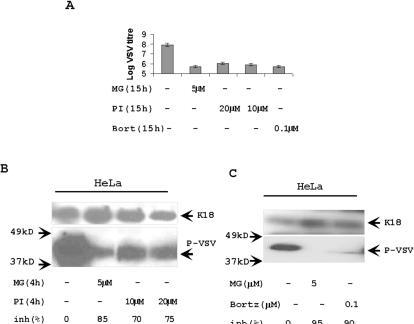 Different proteasome inhibitors affect VSV replication.(A) Proteasome inhibitor 1 and Bortezomib decreased VSV replication. Titration of VSV from the medium of overnight infected HeLa cells. VSV infection (MOI = 1) for one hour was substituted by the regular medium with indicated concentration of proteasome inhibitors. VSV was titrated by plaque assay after overnight growth. (B) Analysis of P-protein synthesis in the cells treated with proteasome inhibitor 1. HeLa cells were infected with VSV (MOI = 5) for 4 h and treated with proteasome inhibitor 1 (PI) or MG132 (MG) at a time of VSV infection. The total protein extracts (5 µg) from these cells were analyzed by Western blotting with anti-P-protein Abs. The concentrations of proteasome inhibitors varied from 5 to 20 µM. Keratin 18 (K18) was a protein loading control. (C) Bortezomib suppressed VSV replication. HeLa cells were infected with VSV, treated with Bortezomib (100 nM) and MG132 (5 µM), and analyzed as described in panel B. K18 was a protein loading control.