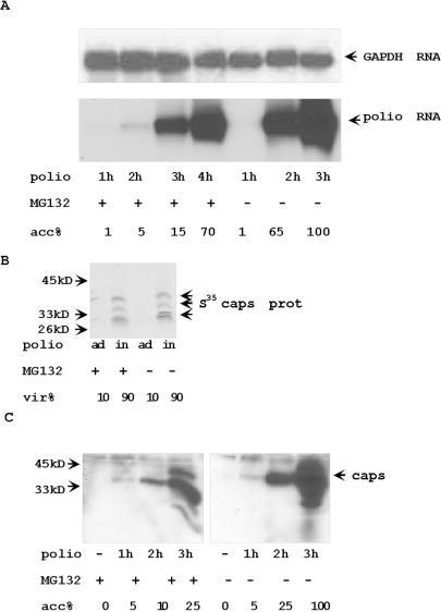 (A) The accumulation of poliovirus RNA was delayed but not abolished in MG132 treated poliovirus-infected cells.Northern blot hybridization of 5 µg of total RNA from poliovirus infected cells with poliovirus protein 3C hybridization probe. Hybridization with GAPDH gene was a RNA loading control. (B) The inhibition of proteasome activity does not affect the entrance of poliovirus into the cells. MG treated and control HeLa cells were pre-incubated with S35-labeled poliovirus (MOI = 100) for 1 h at 4°C. To estimate adsorption background, cells (ad) were washed with cold PBS. Virus internalization (in) was estimated by accumulation of S35-labeled poliovirus capsid proteins during additional 1 h incubation at 37°C. S35-labeled proteins were analyzed by electrophoresis and autoradiography. (C) Poliovirus capsid proteins accumulate slower in MG132 pretreated cells. The extracts from poliovirus-infected cells were analyzed with anti-poliovirus capsid Abs. Control or MG132 2 h pretreated cells were incubated with poliovirus (MOI = 5) for 1 h. Virus containing medium was washed out and cells were incubated for indicated time. 10 µg of protein from infected cells were analyzed by Western blotting with anti-poliovirus capsid Abs.