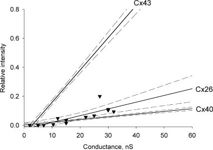 Summary of LY flux data versus junctional conductance for Cx43, Cx26, and Cx40 cell pairs. Each data point for Cx26 (▾) represents a recipient cell fluorescence intensity over injected cell fluorescence intensity 12 min after LY injection (Valiunas et al., 2002). The solid lines correspond to the first order regressions and the dashed lines represent confidence intervals (95%) for each plot. See text for references on derivation of regression lines for Cx40 and Cx43.