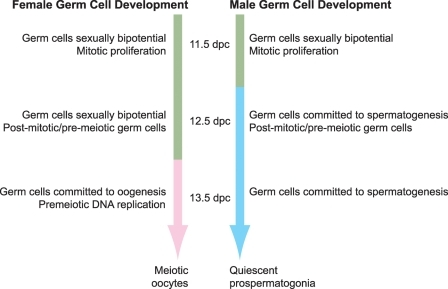 Developmental timing of germ cell sex determination. Schematic diagram of when germ cells commit to spermatogenesis and oogenesis during mouse embryogenesis. Germ cells are sexually bipotential (green) at 11.5 dpc, and commit to spermatogenesis (blue) between 11.5 and 12.5 dpc in male gonads or to oogenesis (pink) ∼1 day later in female gonads. dpc, days post-coitum.