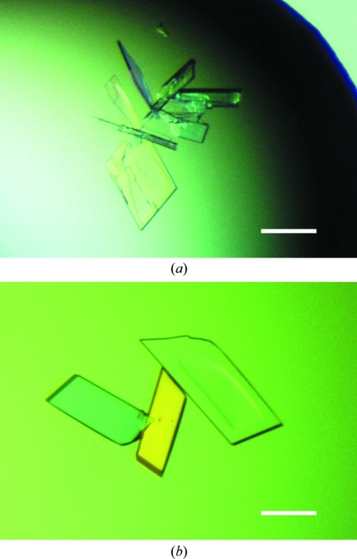Crystals of rBWp16ΔN (a) and its SeMet derivative (b). The scale bars correspond to 0.1 mm. The crystals in (a) and (b) were obtained under conditions I and II, respectively.