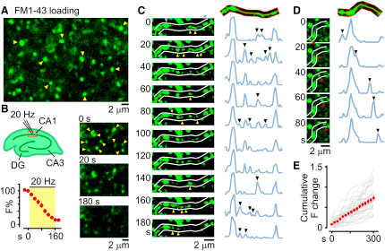 Lateral Sharing of Recycling Vesicles in Native Hippocampal Tissue(A) FM1-43-labeled synapses (examples shown with arrowheads) in CA1 region imaged using two-photon microscopy. (B) Top left: schematic. Right: destaining of FM puncta (arrowheads) by local 20 Hz stimulation at 0, 20, and 180 s. Bottom left: plot showing stimulation-evoked fluorescence loss for 26 puncta. (C) Sample time-lapse sequence (left) and corresponding line scan plots (right) showing multiple trafficking events (arrowheads) along an axon between stable puncta (red arrows). (D) A discrete trafficking event in which fluorescent packet (arrowhead) passes through a stable terminal. (E) Cumulative fluorescence intensity change plot for n = 39 boutons.