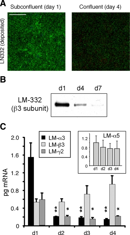 Laminin-332 (LM-332) expression is regulated as a function of confluence. (A) LM-332 deposition only occurs in subconfluent cells. Subconfluent (day 1) or confluent (day 4) MDCK cells cultured on 0.4-μm Transwell supports were immunostained for LM-332 with an anti-β3 subunit mAb (green). Confocal sections corresponding to the basal plane (deposited extracellular matrix [ECM]) are shown. Bar, 10 μm. (B) Significant amounts of LM-332 are deposited into the substratum only in subconfluent (day 1) cultures. Cells plated on Transwell supports were removed by treatment with 20 mM NH4OH at the indicated time points (days 1–7). Deposited ECM proteins were extracted, resolved by SDS-polyacrylamide gel electrophoresis and Western-blotted for LM-332 with an anti-β3 mAb. (C) Laminin α3 and γ2 subunit expression is transcriptionally regulated as a function of cell confluence. RNA from Transwell cultures was isolated at different time points (days 1–4) and analyzed by qRT-PCR using canine-specific primers. Inset, qRT-PCR for the α5 subunit of LM-511 (LM-α5). The histograms represent the average abundance of mRNAs from three independent experiments expressed in picograms ± SD. **p < 0.01 or *p < 0.05 relative to day 1 (d1) levels.