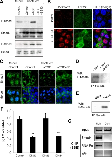 Phospho-Smad2 and Smad4 regulate LM α3 subunit gene transcription. (A) Differential phosphorylation of Smads. Subconfluent (Subcfl.) or confluent cultures either untreated (control) or treated with 5 ng/ml TGF-β1 for 6 h in the absence or presence of the TβR-I inhibitor SB431542 (+TGF-β1 or + TGF-β1+SB43, respectively) were analyzed by Western blotting for phospho-Smad2 (P-Smad2), total Smad2, P-Smad3, and total Smad3. (B) Phospho-Smad2 is localized to the nuclei after TGF-β1 treatment in confluent cells. Untreated (control) or TGF-β1–treated confluent cells (+TGF-β1) were stained with antibodies against P-Smad2 (red) and LM-332 (β3 subunit; green) and analyzed by confocal fluorescence microscopy. Nuclear staining with DAPI, blue. Bar, 10 μm. (C) Smad 4 is also localized to the nuclei in subconfluent and TGF-β1–treated confluent cells. Subconfluent MDCK cell cultures without added exogenous TGF-β1 and confluent cultures either untreated (control) or treated with of TGF-β1 in the presence or absence of SB431542 (SB) were stained with antibodies against Smad4 (green) and analyzed by confocal fluorescence microscopy. Nuclear staining with DAPI, blue. Bar, 10 μm. (D) Phosho-Smad2 and Smad4 form a complex dependent on TβR-I signaling. Confluent cultures treated with TGF-β1 to induce LM-332 expression in the absence or presence of the TβR-I inhibitor SB431542 (+TGF or +TGF+SB43, respectively) were extracted in RIPA buffer. Extracts were immunoprecipitated with an anti-Smad4 antibody (mouse) and Western blotted with anti-P-Smad2 antibody (rabbit). (E) P-Smad2 and Smad4 also form a complex in subconfluent cells. Extracts of subconfluent MDCK cell cultures without added exogenous TGF-β1 were immunoprecipitated with a control IgG (mock) or with an anti-Smad4 antibody (mouse), and Western blotted for P-Smad2 (rabbit). (F) DN Smad2 and Smad4, but not Smad3, impairs α3 subunit transcription in subconfluent cultures. Subconfluent MDCK cell cultures were transiently transfected with DN-Smad2, DN-Smad3, or DN-Smad4, and α3 subunit mRNA expression was analyzed by qRT-PCR after 24 h. **p < 0.05; ***p < 0.001 (G) Smad4 binds to an Smad binding element in the α3 subunit gene promoter. Subconfluent (6 h) or confluent (4 d) MDCK cell extracts were subjected to ChIP with anti-Smad4, RNA-polymerase II, or nonspecific antibodies (IgG). Enrichment of the SBE in the immunoprecipitated chromatin was determined by touchdown-PCR using primers specific for the α3 subunit promoter. Products were resolved by agarose gel electrophoresis (negative staining is shown) and compared with whole chromatin lysates (input).