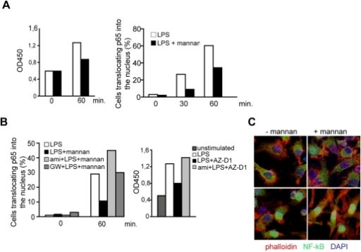 SMase dependent DC-SIGN signaling dampens rather than enhances TLR-stimulated NF-κB activation.A. NκB activation in DCs activated by LPS alone (white bars) or in the presence of mannan (black bars) was determined by measuring DNA binding using an ELISA based kit (left panel) or by determining the percentage of cells translocating p65 to the nucleus (right panel; 100 cells per treatment were recruited into the analysis, for an example see 3C) after the time intervals indicated. B. NκB activation in DCs exposed LPS alone (white bars) or together with mannan only (left panels, black bars) or after a 2 hrs pretreatment with amitriptyline (left panel, light grey bars) or to GW4869 (left panel, dark grey bars) was analysed by determining the percentage of cells translocating p65 to the nucleus (each 150 cells per treatment were recruited into the analysis), or in DCs left untreated (right panel dark grey bar) or activated for one hour by LPS alone (right panel, white bar) or together with AZ-D1 (followed by crosslinking) only (right panel, black bar) or after a 2 hrs pre-treatment with amitriptyline (right panel, light grey bar) by measuring p65 DNA binding by ELISA. C. Representative images showing examples for scoring into nuclear and cytoplasmic localization as evaluated in A and B. Upper left panel: −LPS, upper right and bottom left panels: +LPS, lower right panel: ami +LPS. Cells were counterstaining by phalloidin (mainly detecting cortical f-actin lining the plasma membrane) and DAPI. Data shown in A–C represent each one representative out of three independent experiments.