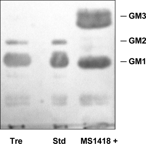 Thin-layer chromatography immunostaining with a mixture of anti-GM3, anti-GM2 and anti-GM1 Mabs of gangliosides of Tre and MS1418+ cell lines after 10 min treatment with anti-Fas.Std represents standard gangliosides from bovine brain. The amounts of gangliosides applied on the HPTLC plate were one tenth of those visualized by resorcinol-HCl in Fig. 1a.