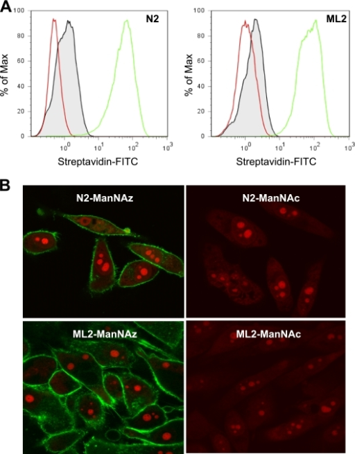 "Labeling of cell surface sialoglycoproteins. A, Flow cytometry analysis of N2 and ML2 cells treated with AC4ManNAz or ManNAc. Intact cells were biotin-tagged through click reaction, and visualized with streptavidin-FITC. PI negative gated FACS histogram showing three populations of cells: control cells (red), cells treated with ManNAc (gray filled), and cells treated with 40 μm AC4ManNAz (green) for 3 days. B, Confocal microscopy of N2 and ML2 cells for visualization of the fluorescently labeled cell-surface sialoglycoproteins. Cells were treated with 40 μm AC4ManNAz or ManNAc for 3 days and then fixed, conjugated with biotin-alkyne via click reaction and ""stained"" with streptavidin-FITC (green) and PI (red)."