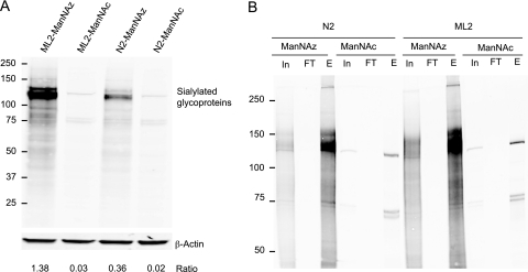 "Capture and enrichment of azide-tagged sialoglycoproteins. A, Detection of sialylated glycoprotein in cell lysates. N2 and ML2 cells were metabolically labeled with 20 μm ManNAz for 24 h and conjugated with 25% (v/v) biotin-alkyne. Cells were lysed and total protein was extracted as described under ""Experimental Procedures."" Top panel: Protein was resolved by SDS-PAGE and visualized by incubation with streptavidin-IR 800. Reactive bands indicate sialylated glycoproteins. The same blot was probed with anti-β-actin to verify equal protein loading. The relative expression of sialylated glycoproteins after normalization with the β-actin is shown at the bottom of each lane. B, Enrichment of azide-tagged sialoglycoproteins by affinity chromatography. Azide-tagged and biotin-conjugated sialoglycoproteins from the total lysate of N2 and ML2 cells were captured by streptavidin beads, separated by SDS-PAGE and visualized by reaction with streptavidin-IR 800. Shown are the results from 20 μg of postclick cell lysate (Input), 5% of the flow through material that did not bind to the beads (Flow-Through), 5% of the eluted material from 2 mg of protein that bound to the beads (Eluent). In, input; FT, flow through; E, eluent. Shown is a representative of four experimental replicates."