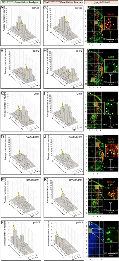 Quantitative assessment of aberrantly distributed spinal cord progenitors in Gbx2 mutant embryos.Quantitative spatial analysis of control Gbx2CreER-ires-eGFP/+ (A–F) and mutant Gbx2CreER-ires-eGFP/CreER-ires-eGFP (G–L) spinal cords at E10.5. The average number of progenitors was assessed by counting cells with expressing the indicated markers in two sections at the upper limb level from control embryos (n = 3) and mutant embryos (n = 4). To facilitate a clear comparison of the spatial distribution across samples, we a Cartesian coordinate system where ML1-DV1 represented the most medial-dorsal quadrant, ML1-DV10 the most medial-ventral quadrant, ML4-DV1 the most lateral-dorsal quadrant, and ML4-DV10 the most lateral-ventral quadrant (M–R). The yellow boxes in panels M–R are shown at higher magnification with white dots used to track counted cells. The yellow boxes also correlate with the domains that were highlighted in the graphs with a yellow arrow. Quantitative spatial mapping revealed the distribution of Brn3a+ cells (A,G,M), Isl1/2+ (B,H,N), Lim1+ (C,I,O), Brn3a+/Isl1/2+ (D,J,P), Brn3a+/Lim1+ (E,K,Q), and pHH3 (F,L,R).