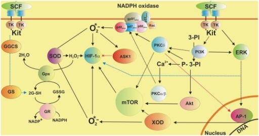 Possible mechanisms of SCF-dependent HIF-1α accumulation in human myeloid leukaemia cells. Implication of a GSH-dependent antioxidative system.The scheme demonstrates the involvement of ERK, PI3 kinase/PKC-δ-mTOR, PKC α/β-NADPH oxidase-ROS and XOD pathways in SCF-induced Kit receptor-dependent HIF-1α accumulation in THP-1 human myeloid leukaemia cells. The implication of GSH-dependent antioxidative system and ASK1 in the process is outlined.