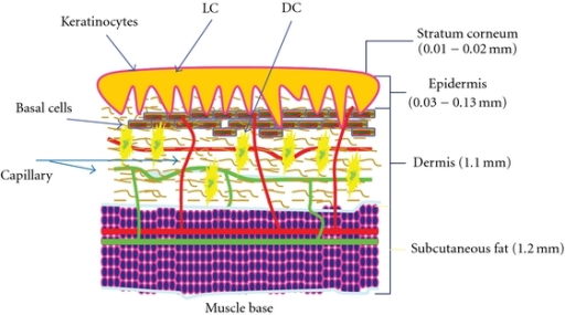 A Schematic Diagram Of The Skin A Cartoon Drawing Base Open I
