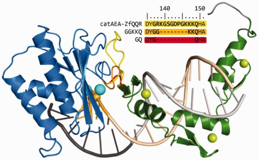 Structural model of the RNase HI-ZfQQR hybrid enzyme variants (catAEA-ZfQQR, GQ and GGKKQ) in complex with the DNA–RNA hybrid, with the cleavage site positioned 5 nt away from the ZfQQR binding site. Protein and nucleic acid backbone is shown in the cartoon representation: the RNase HI catalytic domain is shown in blue (Mg2+ ions are shown as cyan spheres), the ZfQQR module is in green (Zn2+ ions are shown as lime spheres), the DNA strand is shown in dark gray (with the sequence recognized by ZfQQR in light gray), and the RNA strand is in dark yellow (the sequence recognized by ZfQQR in light yellow). A phosphorus atom participating in the scissile phosphodiester bond is shown as a yellow sphere. The interdomain linkers of the catAEA-ZfQQR, GGKKQ and GQ variants are shown in yellow, orange and red, respectively. Sequences of the interdomain linkers for each variant are shown above the model.