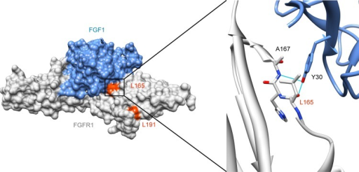Mapping of mutations L165S and L191S on crystal structure. Protein Data Bank structure 3OJV38 showing the extracellular Ig-like domains 2 and 3 of FGFR1 (amino acids 147–359) bound to FGF1 in surface representation, and detail around leucine 165 in ribbon representation. FGFR1 is shown in grey and FGF1 in blue. Leucines 165 and 191 are coloured in orange red. The detailed view is highlighting the interface between FGFR1 and FGF1 around leucine 165. Tyrosine 30 on FGF1 forms hydrogen bonds with leucine 165 and alanine 167.39 Substitution of the leucine 165 by a serine should affect FGF binding. These pictures were made using  UCSF Chimera.40