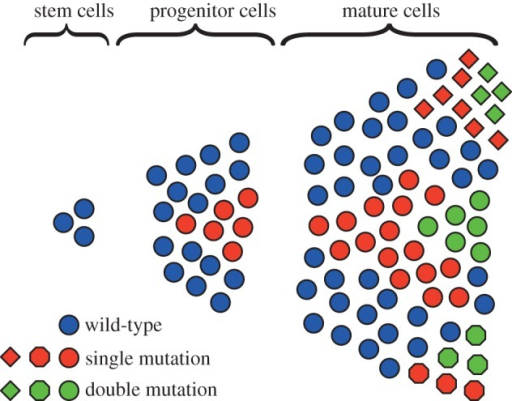 Clonal expansion within a hierarchically organized tissue. Cell proliferation is driven by a few slow-dividing stem cells, giving rise to faster dividing progenitor cells. After some differentiation steps, the mature tissue cells are obtained. Initially cells have no mutations, but mutants can arise and expand within the hierarchy. These cells either vanish or gain an additional mutation, which again potentially spreads within the hierarchy. Different colours code for a different number of mutations, whereas different shapes indicate different mutations. (Online version in colour.)